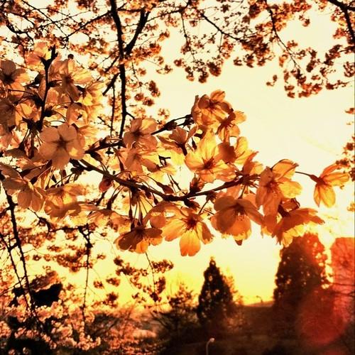夕陽に染まる。 今日は暖かかったね! この調子でお願いします。 今日も一日、お疲れ様でした。 #sunset #sakura