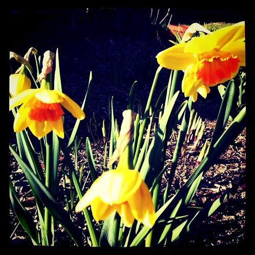 Fav daffodils are finally blooming.