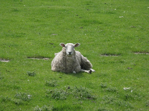 this sheep watched me walk past