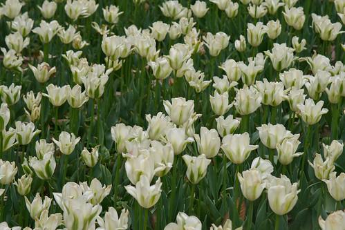 Tiger Hill tulips