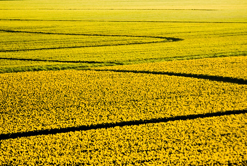 daffodil abstract II