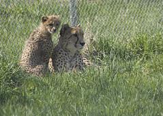 National Zoo's Cheetah Cubs: April