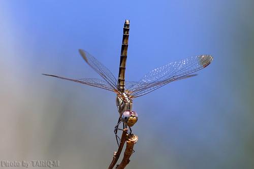 Dragonfly by TARIQ-M