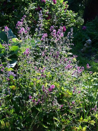 gardengeranium