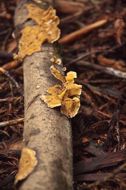 Big Basin Tree Fungi