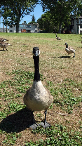 Goose looking right at the camera