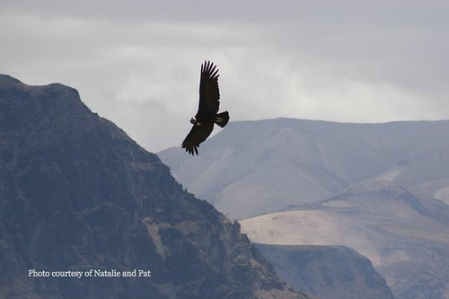 Andean condor, Colca canyon II