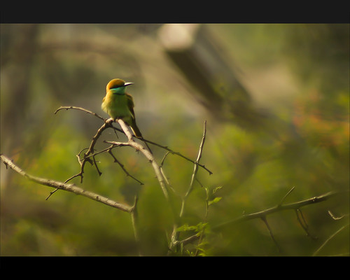Green Bee Eater Spotted