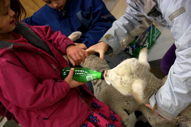 lambs - 1