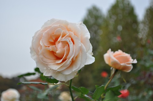 Cream Delight Rose