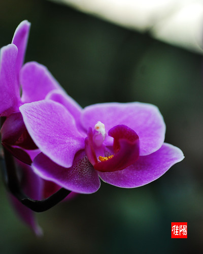 D80-CHI_Orchid05-2010_11-18B