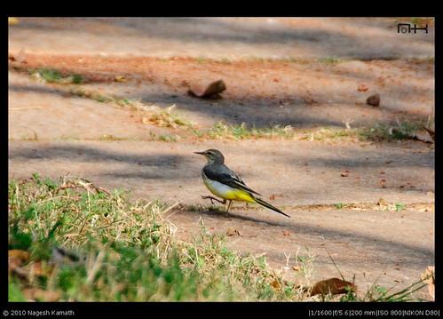 Grey Wagtail | Kabini