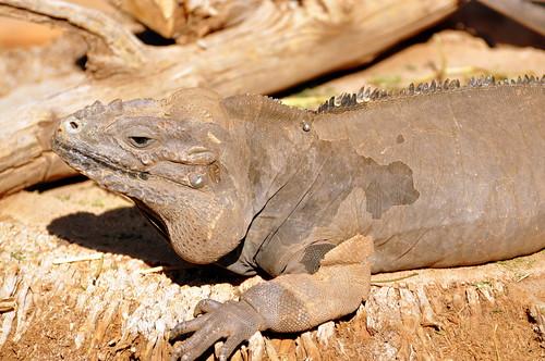 Pierced Rhino Iguana.