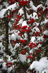 Pyracantha in Snow