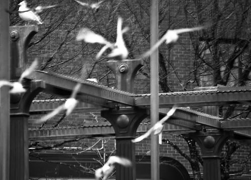 Poineer Square Pigeon Rush