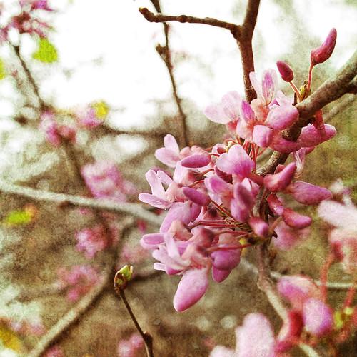 Pink Spring I
