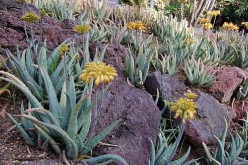 Aloe blooming.