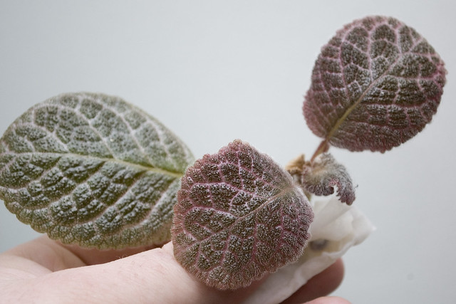 Episcia 'Jim's Patches'