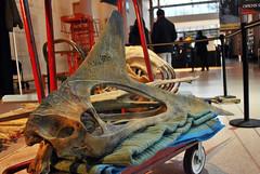 Quetzalcoatlus 1.14.11 (Houston Museum of Natural Science) Tags: museum houston science exhibition sciencemuseum pterosaur hmns quetzalcoatlus houstonsciencemuseum epoxirex assemblingapterosaur