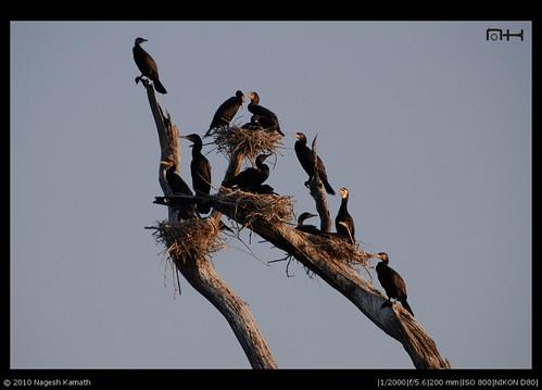 Cormorant Family | Kabini