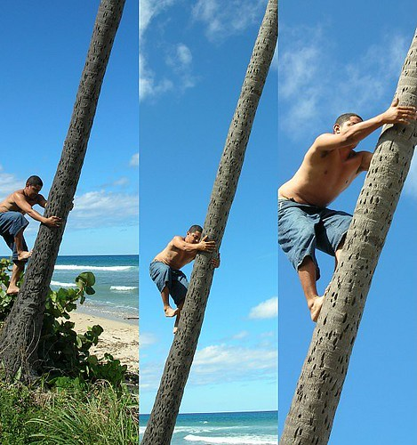 How to climb a coconut palm