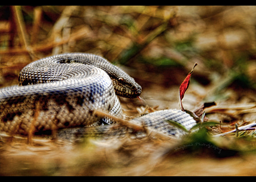 Gongylophis conicus - Common Sand boa by Rajanna_dr