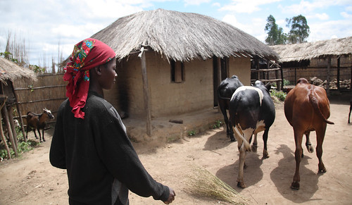 Livestock farmer Jinny Lemson brings her cows home to stable in central Malawi