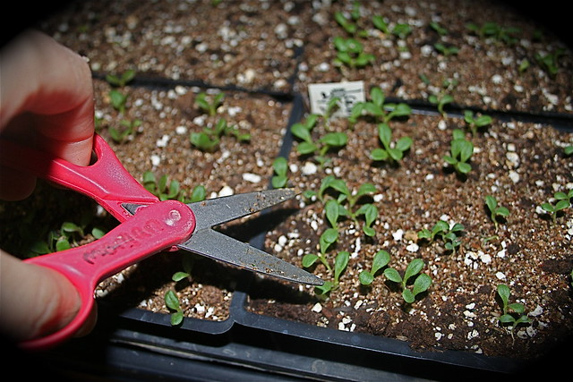 thinning seedlings with scissors