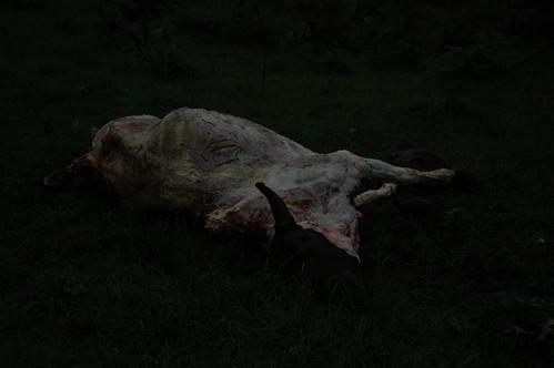 Cow carcass