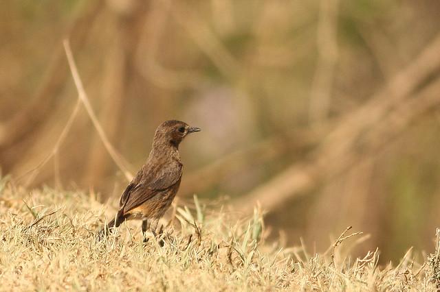 Pied Bushchat  Female