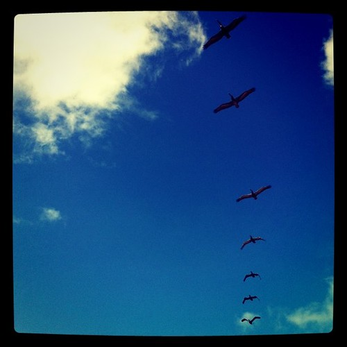 pelicans fly in perfect lines