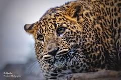 Leopardo de Ceilán (I) (Panthera pardus kotiya)