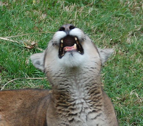 Cougar Laughs at my Joke