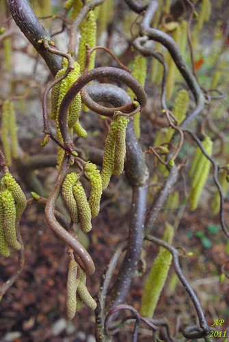 Chatons / Catkins