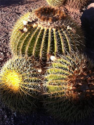 barrel cacti