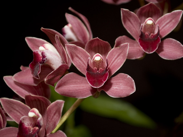 Cymbidium Ruby Shower