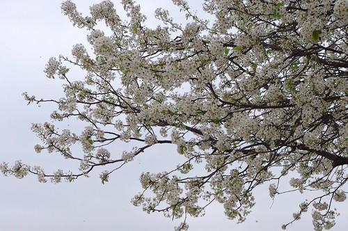 03.16.2011 Spring blossoms