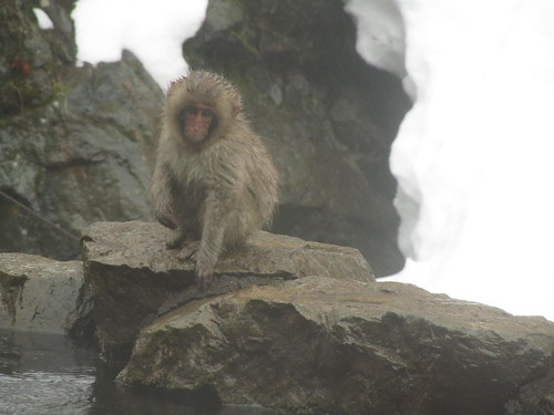 Snow Monkeys, Jigokudani, Nagano, 21st March 2011