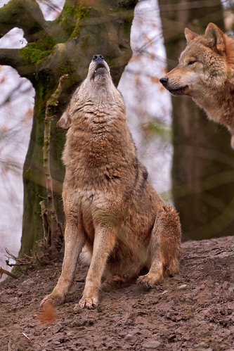 Howling wolf by Tambako the Jaguar