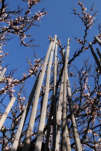 Poles-tree-in-bloom