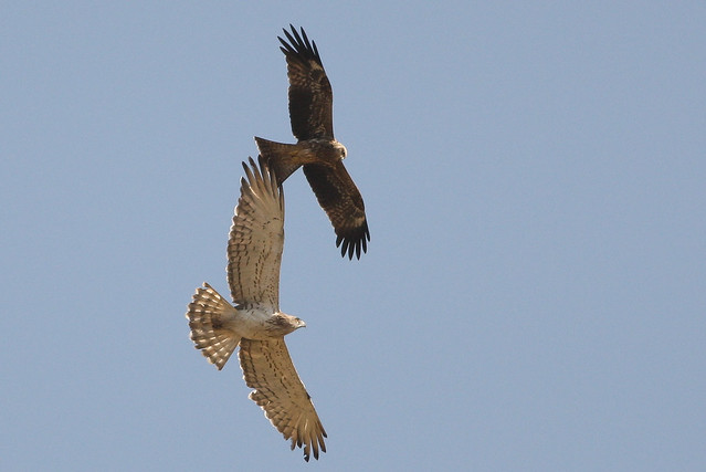 short-toed snake eagle chased by Black kite