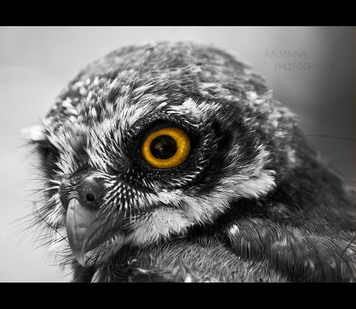 Spotted Owlet - Athene brama by Rajanna_dr