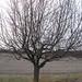 apple tree March11