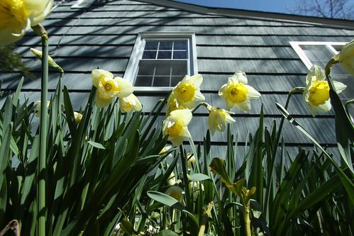 Daffodils And Siding