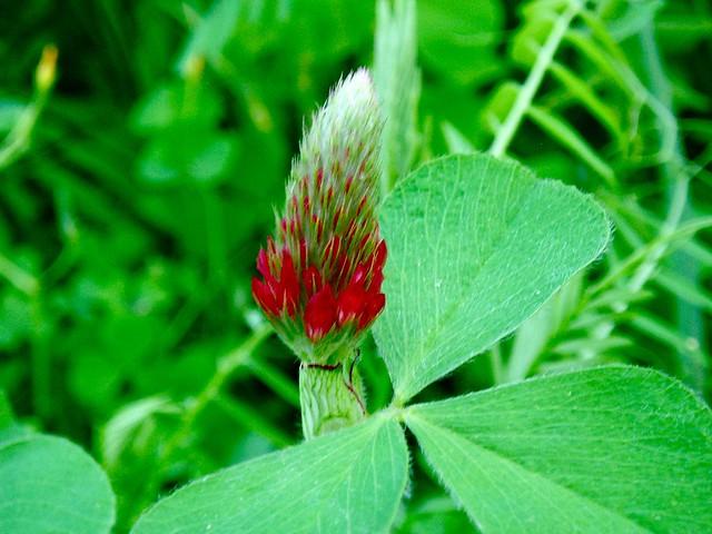 Open Lotus Garden Crimson Clover