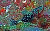 Nembrotha cristata by divemecressi