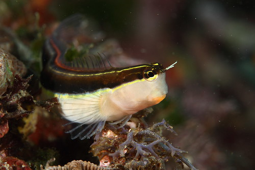 Ecsenius lineatus 線紋無鬚鳚
