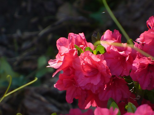 Red azalea from backyard by rjknits
