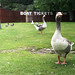 Boating pond Geese