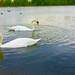 Round Pond Swans